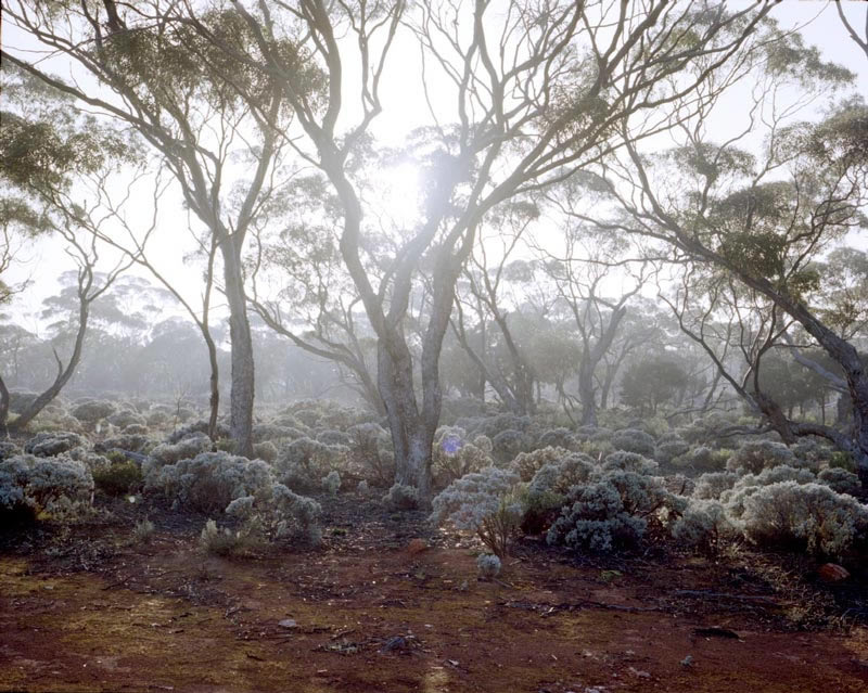 Yalata saltbush, photo Jessie Boylan